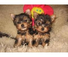 Regalo dolcissimi cuccioli yorkshire terrier toy