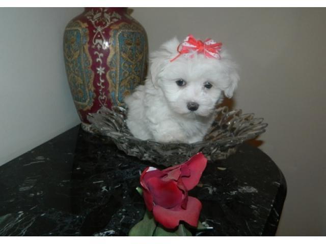 Toy cuccioli maltesi disponibili per l'adozione