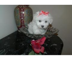 Regalo Toy cuccioli maltesi disponibili per l'adozione