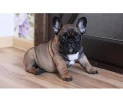 Regalo splendidi bulldog francese Cuccioli