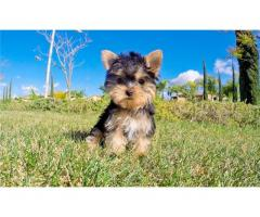 REGALO Mini Toy Yorkie cuccioli per adozione