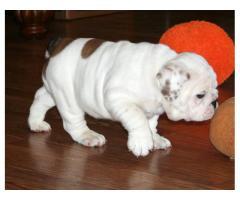 REGALO di bulldog inglese cucciolo