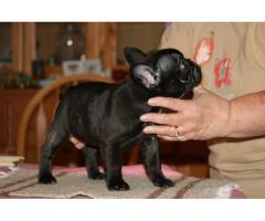 REGALO Bulldog francese Cuccioli per adozione