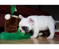 REGALO bellissimi cuccioli di bulldog francese