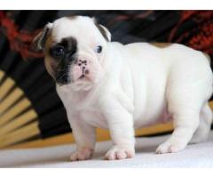 Bulldog francese maschio cute