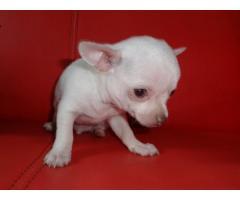 REGALO Meravigliosi cuccioli di chihuahua mini