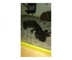 cedo GRATIS coppia di Axolotl (Ambystoma mexicanum) uno nero e l'altro bianco