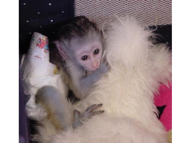 Bella scimmie capuccino per l'adozione