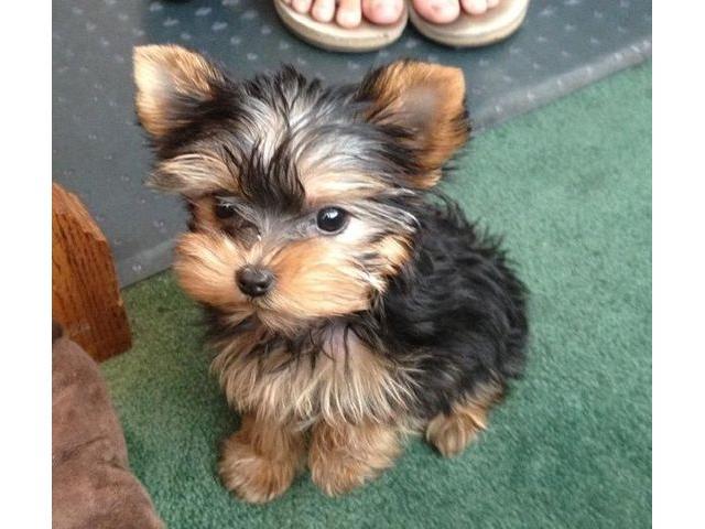 REGALO di Mini toy Yorkshire Terrier Cuccioli