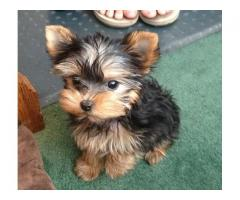 REGALO di Mini toy Yorkshire Terrier Cuccioli
