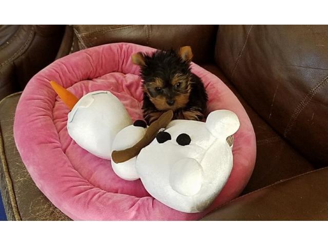 REGALO cuccioli yorkshire terrier