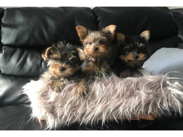 REGALO cucciolo di Yorkshire terrier disponibile
