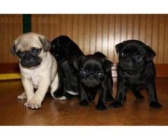 Bellissimi cuccioli carlino