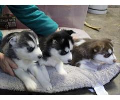 Adorable cuccioli di Siberian husky
